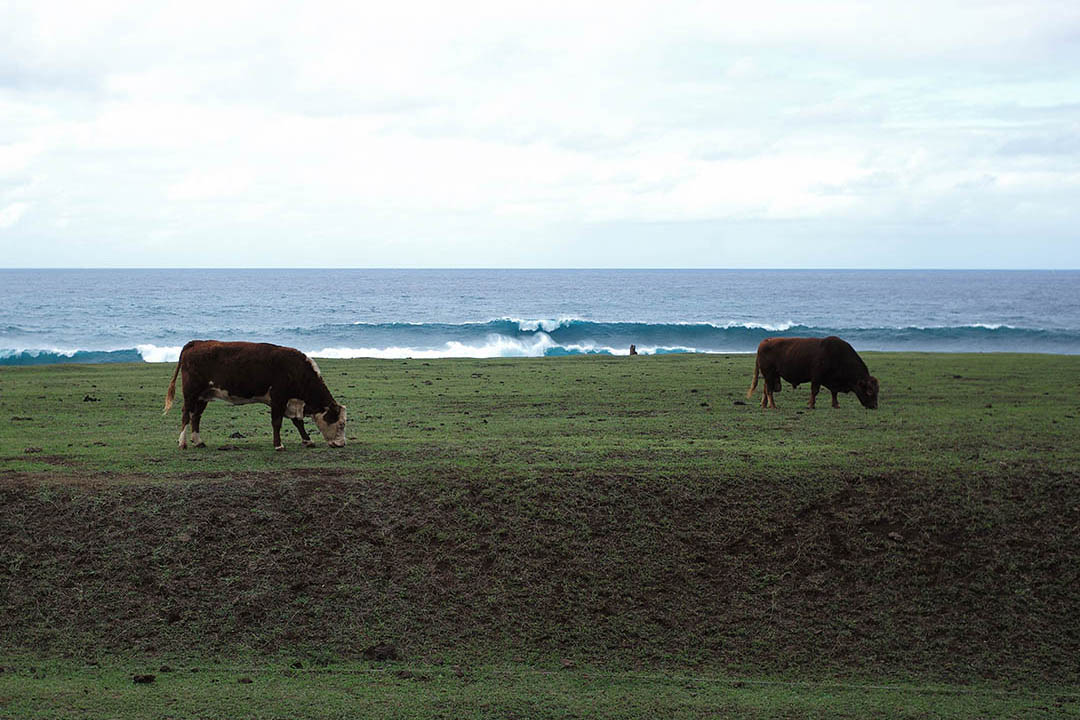 """North Shore wave's and cows"", street photography on the beach, © Loïc Dorez."